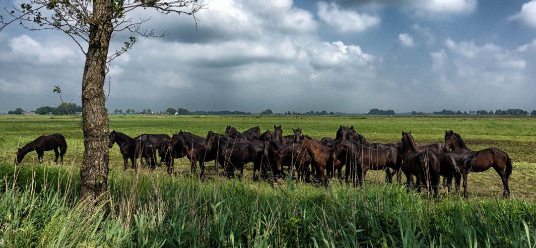 WM-Fotografen, paarden Henswoude Aldeboarn